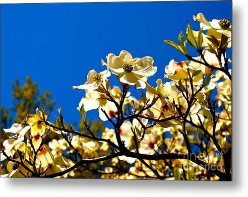 Cherry Metal Print featuring the photograph Cherry Blossom by Ivana Kovacic