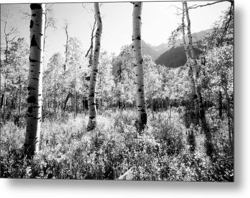 Landscape Metal Print featuring the photograph Aspens Black And White by Caroline Clark