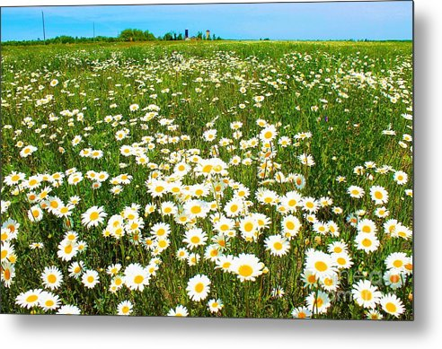 Photography Metal Print featuring the photograph Daisy Field by Anthony Djordjevic