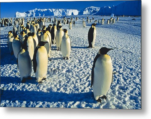 Antarctica Metal Print featuring the photograph Emperors by Andy Townsend