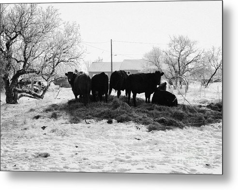 Feed Metal Print featuring the photograph feed and fresh grass laid out for cows on winter farmland Forget Saskatchewan Canada by Joe Fox