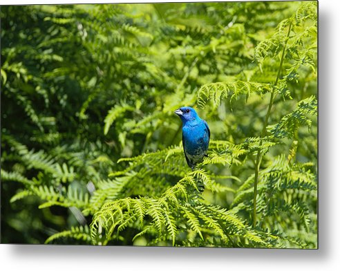 Bird Metal Print featuring the photograph Indigo X Lazuli Bunting Hybrid by Scott Carpenter