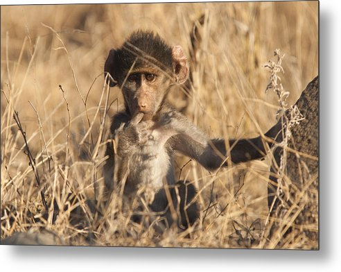 Baboon Metal Print featuring the photograph Cute by David Pryce
