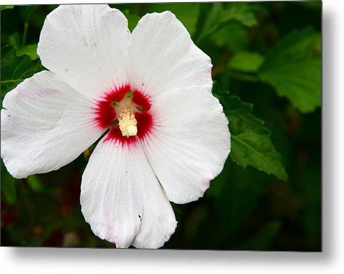 Rose Of Sharon Metal Print featuring the photograph Helene Rose Of Sharon by Aaron Grabiak