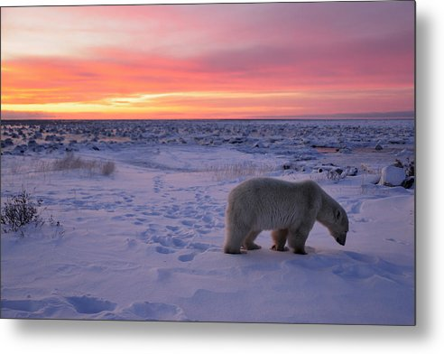 Animals Wildlife Metal Print featuring the photograph Hudson Bay Landscape by Don Johnston