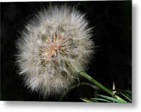 Flower Metal Print featuring the photograph Puff And Your Gone by Donna Kennedy