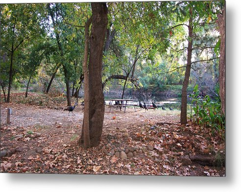 Metal Print featuring the photograph Wild Turkeys In Camp by Pat Follett