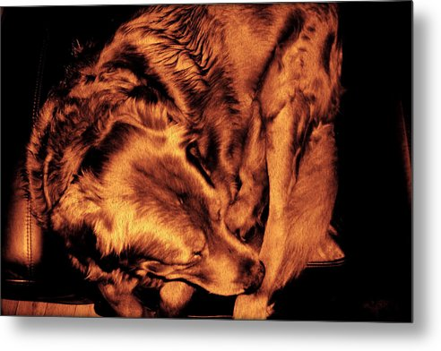 Golden Retriever Metal Print featuring the photograph Golden Retriever In Leather Chair Variation 2 by Michael Paul Senior