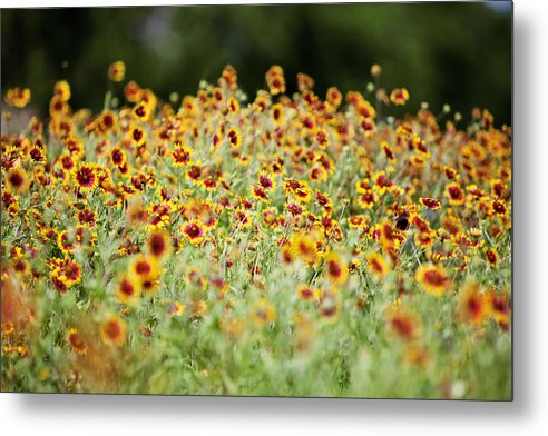 Nature Metal Print featuring the photograph Indian Blankets by Jama Pantel