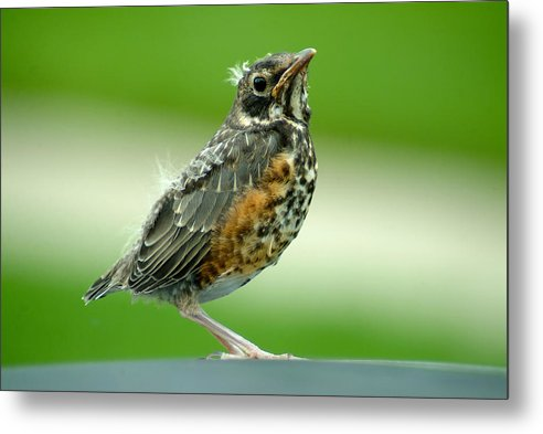 Robin Metal Print featuring the photograph 051811-10 by Mike Davis