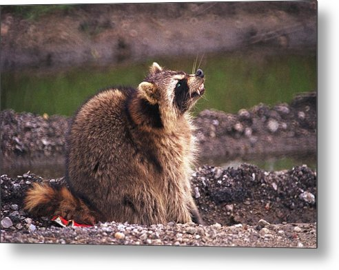 Raccoon Metal Print featuring the photograph 070406-67 by Mike Davis