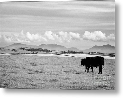 Free Metal Print featuring the photograph Free Range Beef Cattle On Open Farmland Anglesey North Wales Uk by Joe Fox