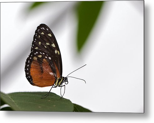 Butterfly Metal Print featuring the photograph Butterfly by Theo Tan