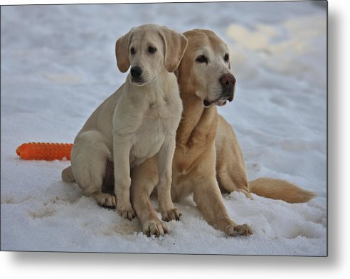 Dog Metal Print featuring the photograph Yellow Labradors by Steven Lapkin