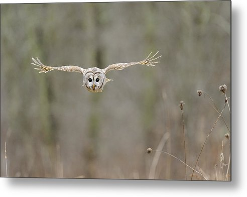 Barred Metal Print featuring the photograph Barred Owl In Flight II by Scott Linstead