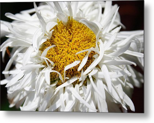 Daisy Metal Print featuring the photograph Dreams by Carol Hicks