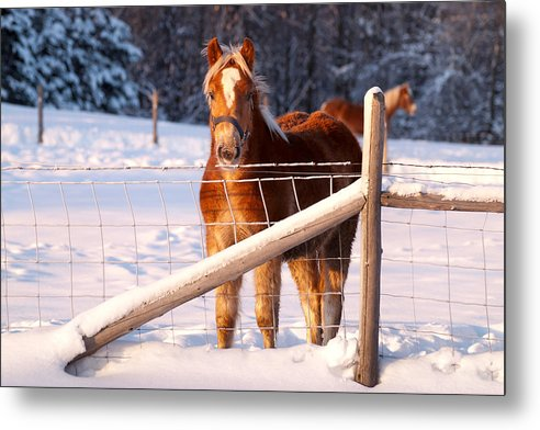 Horse Metal Print featuring the pyrography Horse In The Snow by Martin Rochefort