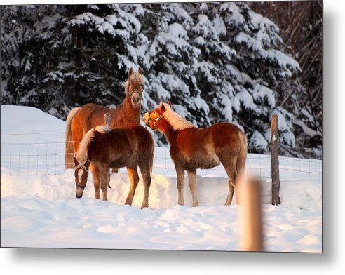 Horse Metal Print featuring the photograph Horses In The Snow by Martin Rochefort