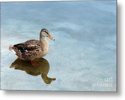 Duck Metal Print featuring the photograph Morning Swim by Jeannie Burleson