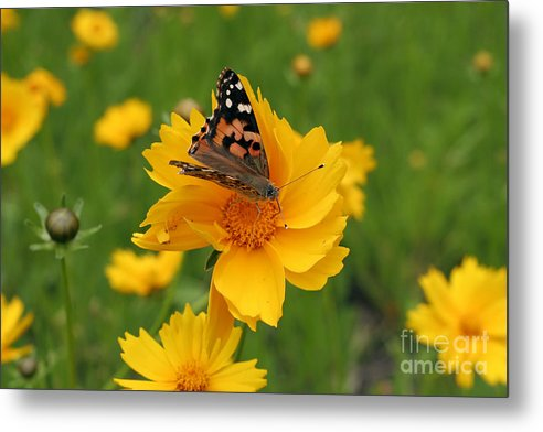 Painted Metal Print featuring the photograph Painted Lady Butterfly by Jeannie Burleson