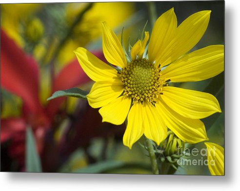 Yellow Metal Print featuring the photograph Sunny Blooms by Jeannie Burleson