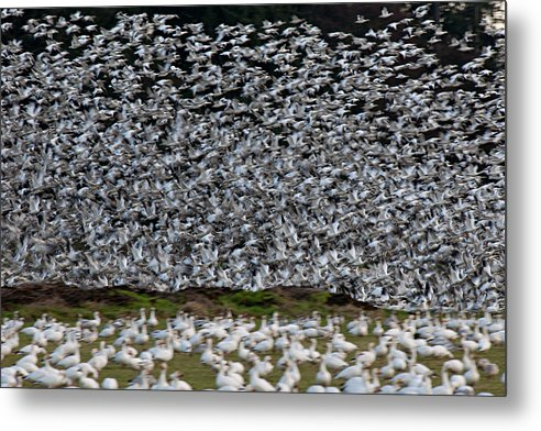 Wildlife Metal Print featuring the photograph Take Off L509 by Yoshiki Nakamura