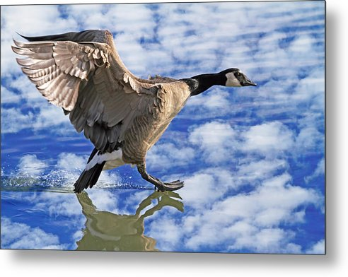 Canada Goose Metal Print featuring the photograph The Professional by Donna Kennedy