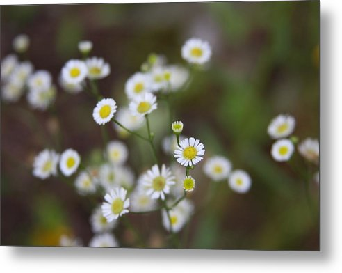 Daisy Metal Print featuring the photograph White Daisy by Kenna Westerman