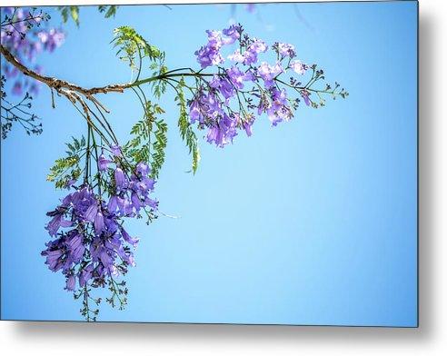 Jacaranda Tree Metal Print featuring the photograph Springtime Beauty by Az Jackson