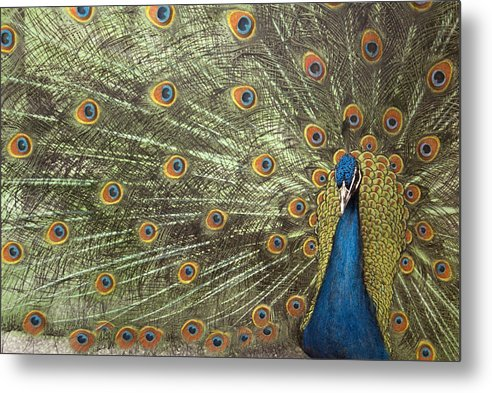 Peacock Metal Print featuring the photograph Peacock by Michael Hudson