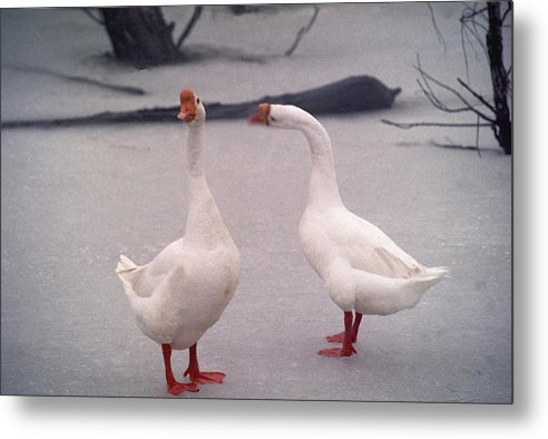 Goose Metal Print featuring the photograph Nag Nag Nag  072506-10 by Mike Davis