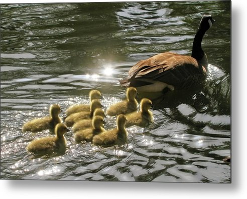 Canada Goose Metal Print featuring the photograph Sunlit Stroll by Donna Kennedy