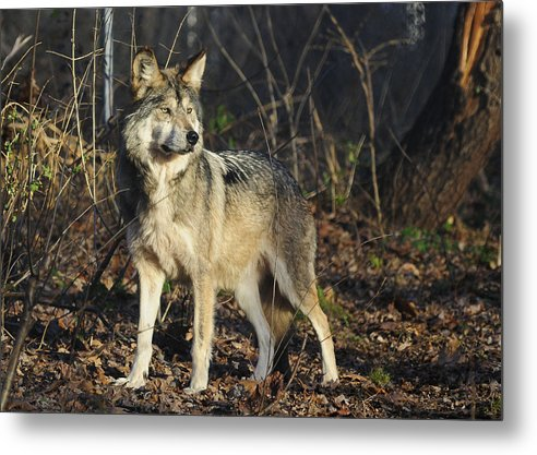 Wolf Metal Print featuring the photograph Wolf by Roni Chastain