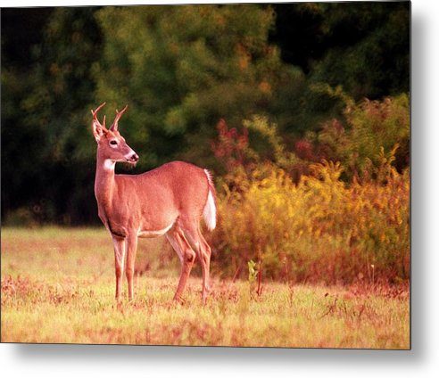 Deer Metal Print featuring the photograph 070406-58 by Mike Davis