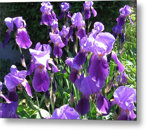 Nature Metal Print featuring the photograph Spring Iris by Lara Leitch