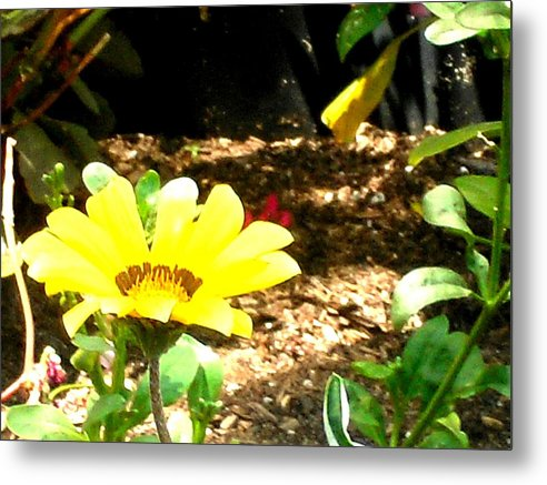 Yellow Metal Print featuring the photograph Sunkist by Cleautrice Smith