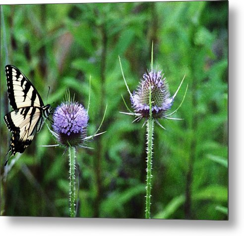 Butterfly Metal Print featuring the photograph 072206-2 by Mike Davis