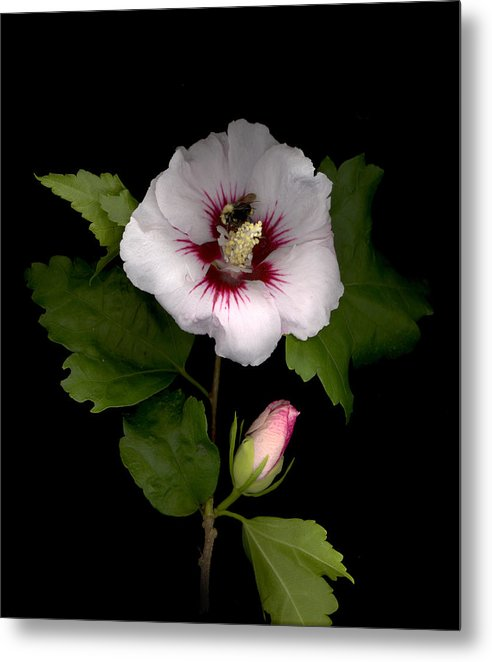 Rose Of Sharon Metal Print featuring the digital art Rose of Sharon by Sandi F Hutchins