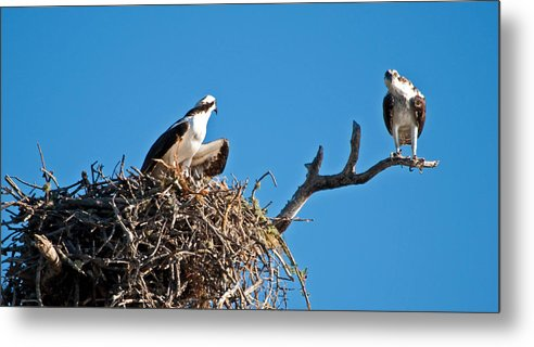 Osprey Metal Print featuring the photograph You Lookin At Me by Christine Stonebridge