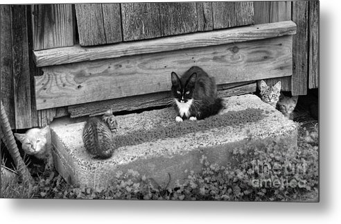 Cats Metal Print featuring the photograph Meal Time by Pete Hellmann