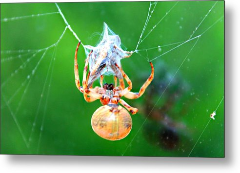 Orb Spider Metal Print featuring the photograph Weaving Orb Spider by Candice Trimble