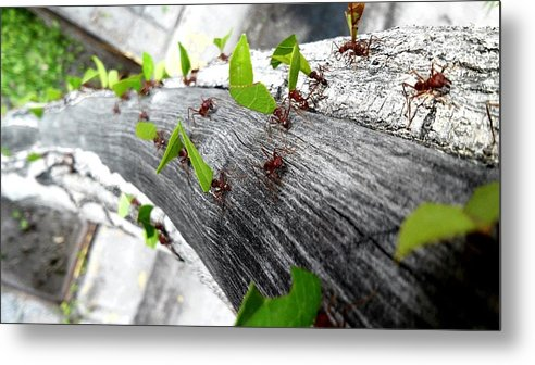 Leaf Cutter Ant Metal Print featuring the photograph Close-Up Of Ants Carrying Leaves by Carlos Ángel Vázquez Tena / EyeEm