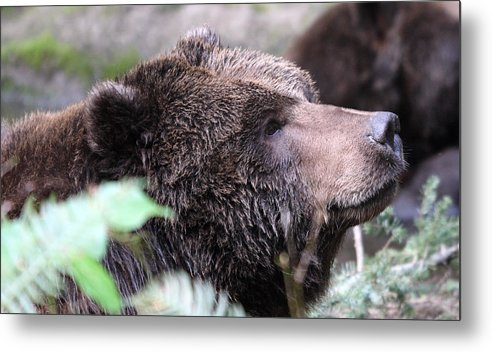 Northwest Trek Metal Print featuring the photograph Grizzley - 0010 by S and S Photo