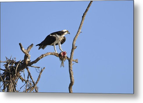 Osprey Metal Print featuring the photograph Osprey with Catch II by Christine Stonebridge