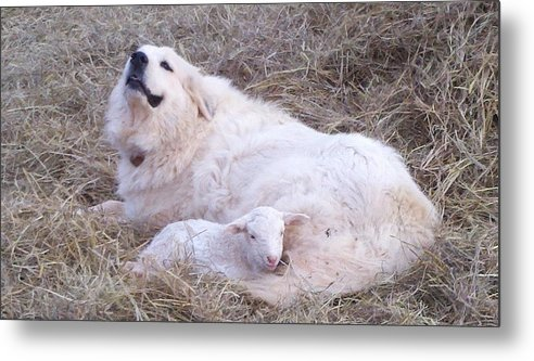 Great Pyrenees Dog Metal Print featuring the photograph Isabel and Molly 2 by Ginger Concepcion