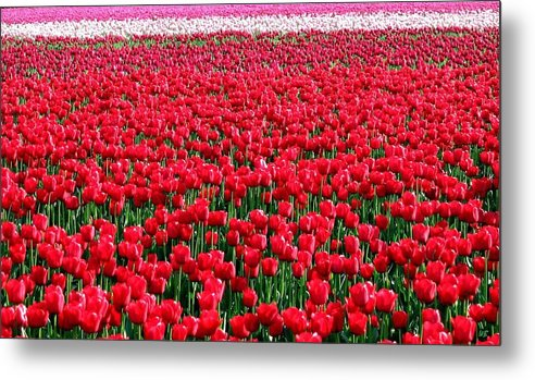 Tulips Metal Print featuring the photograph Tulips By The Million by Will Borden