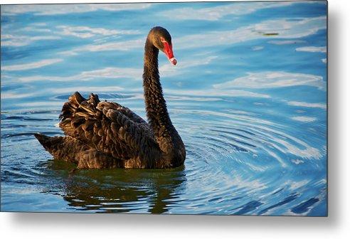 Black Swan Metal Print featuring the photograph Black Swan Making Ripples by Zayne Diamond Photographic