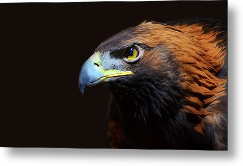 Animal Themes Metal Print featuring the photograph Female Golden Eagle by A L Christensen