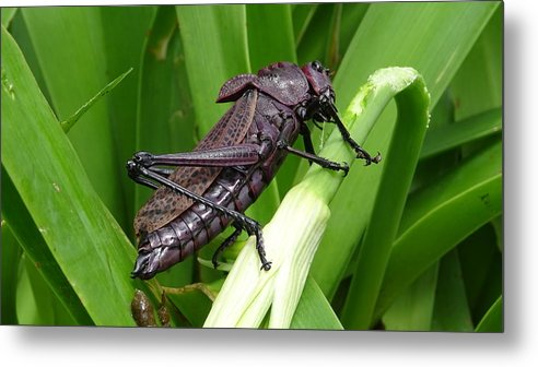Metal Print featuring the photograph Grasshopper by Stanley Vreedeveld