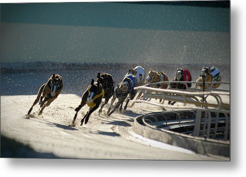 Dust Metal Print featuring the photograph Greyounds 3 Of 7 by Dplight